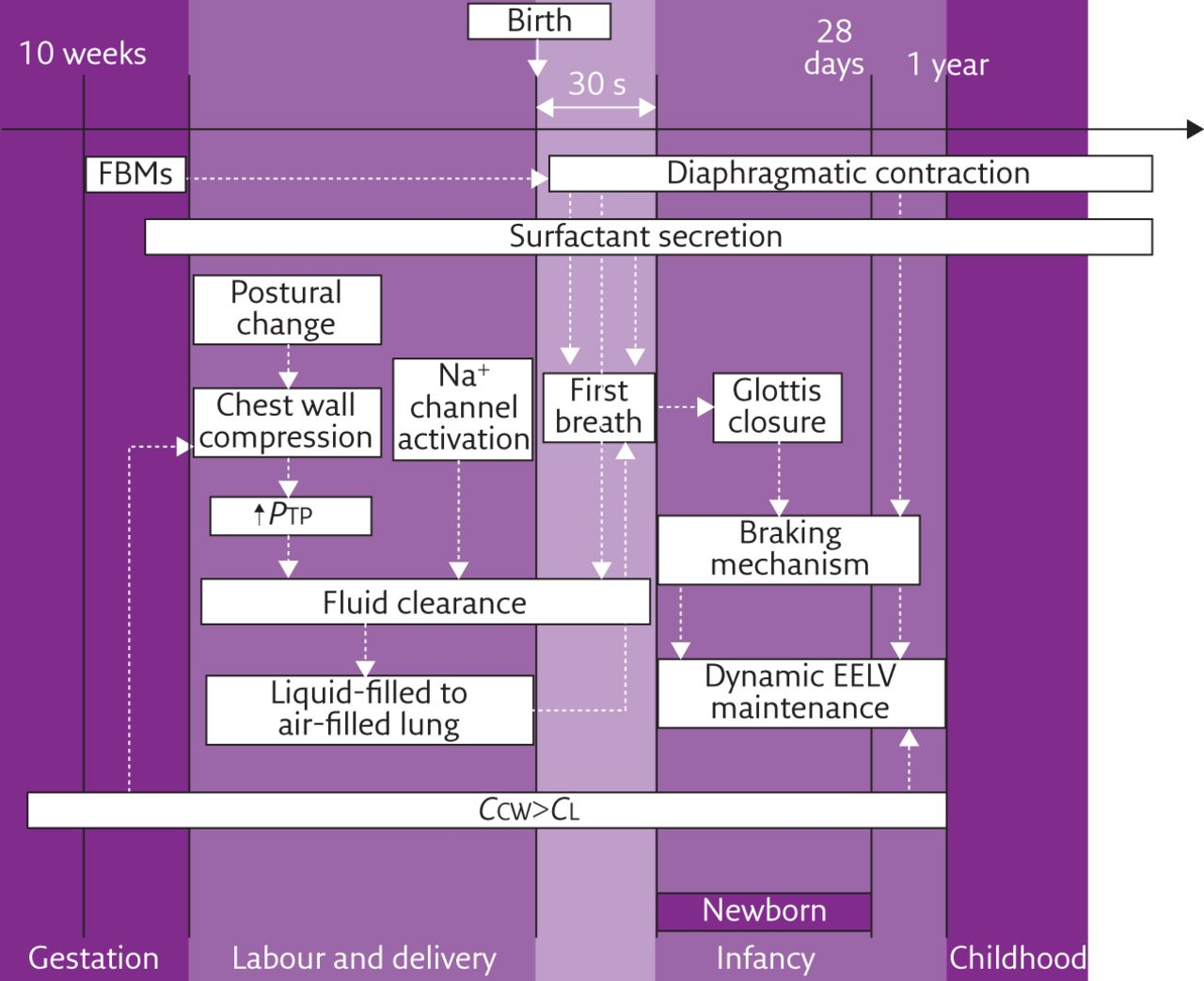 Physiology masterclass: Extremes of age: newborn and infancy ...
