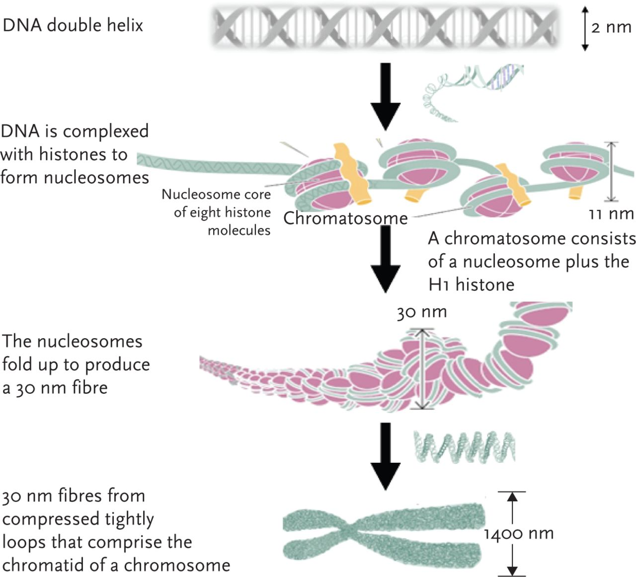 Basic Science Epigenetic Programming And The Respiratory System
